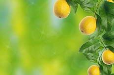 黄色柠檬果绿叶背景图片