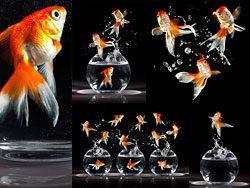 从鱼缸里跳跃出的金鱼高清图片素材